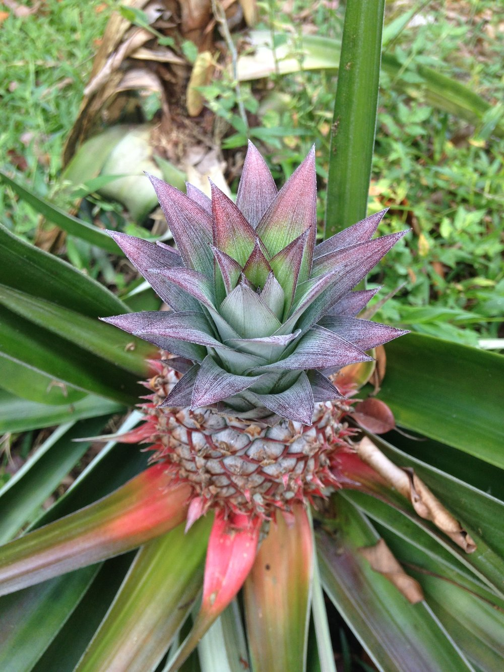As it grows, the pineapple emerges as a tiny version of itself, splendid with sacred geometry.