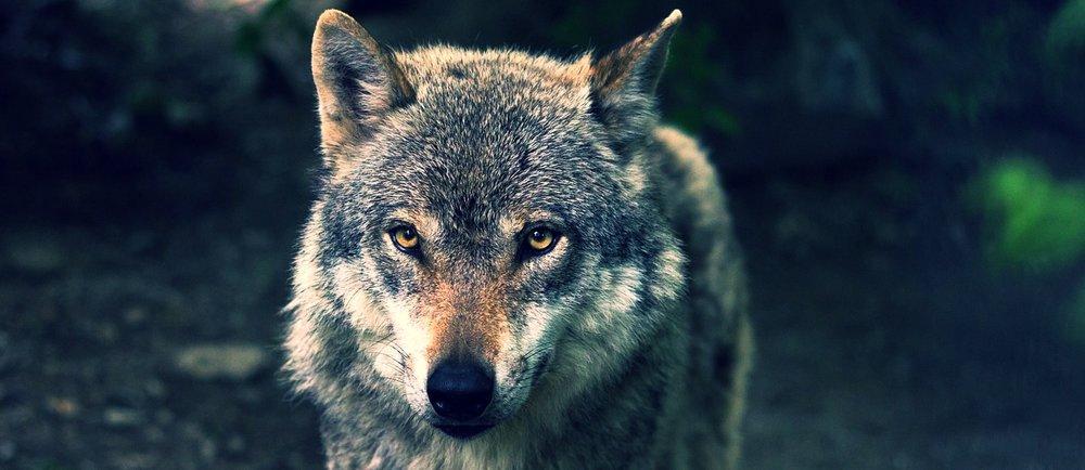 wolf-635063_1280.jpg