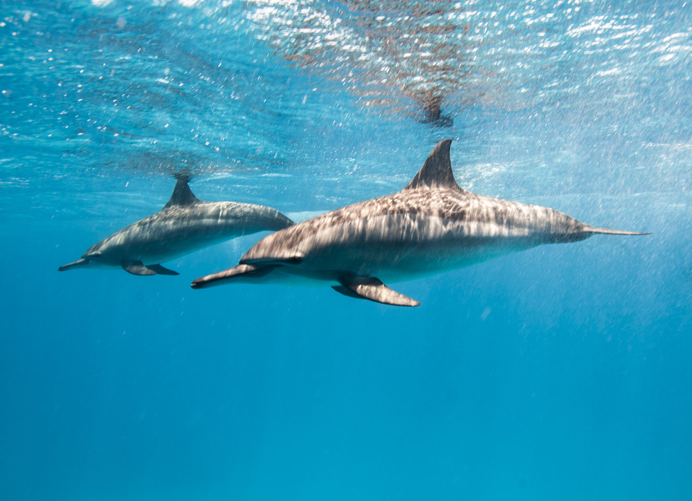 Spinner dolphins - Southern Egpyt.JPG