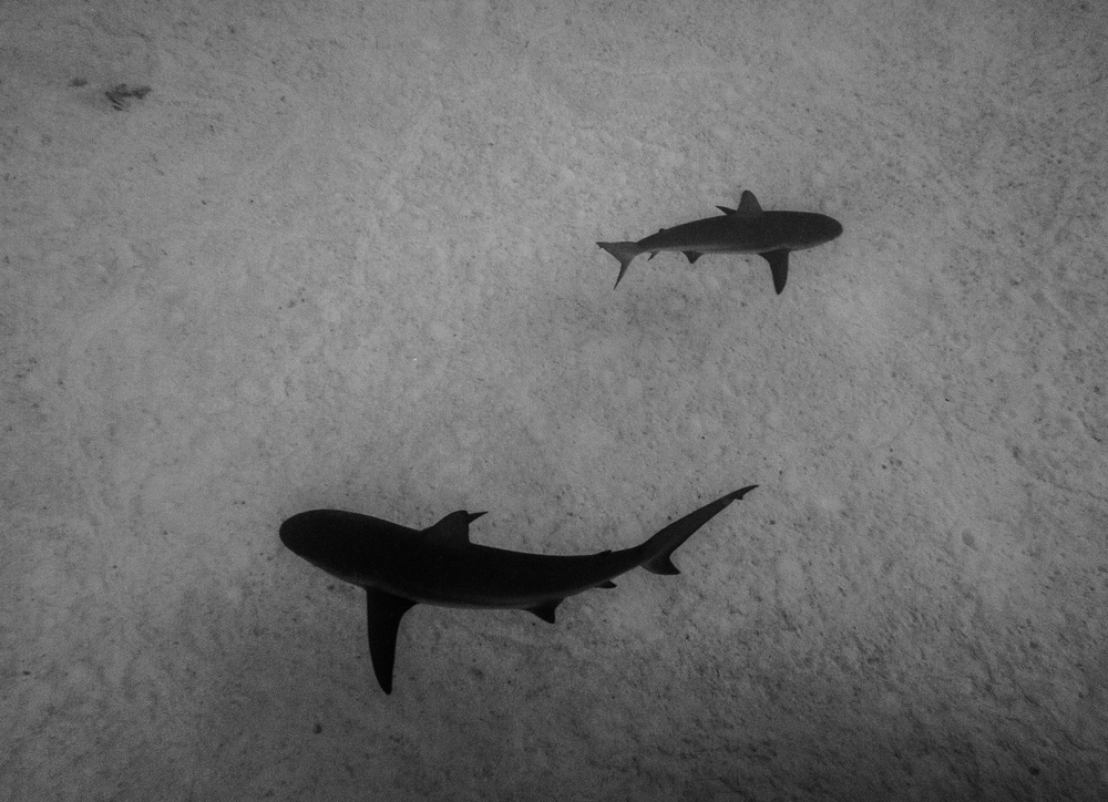 Two Caribbean reef sharks - Bahamas.jpg