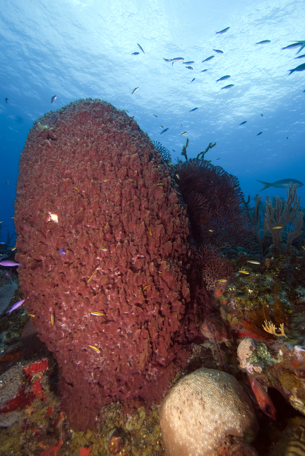 Giant barrel sponge.jpg