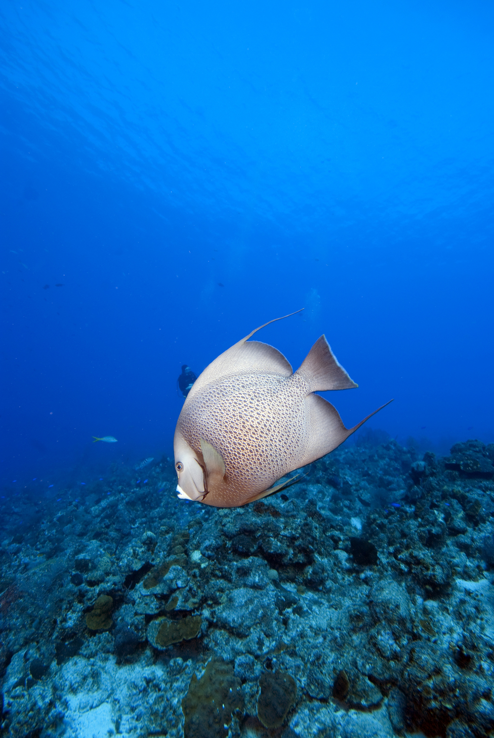 Grey angelfish.jpg