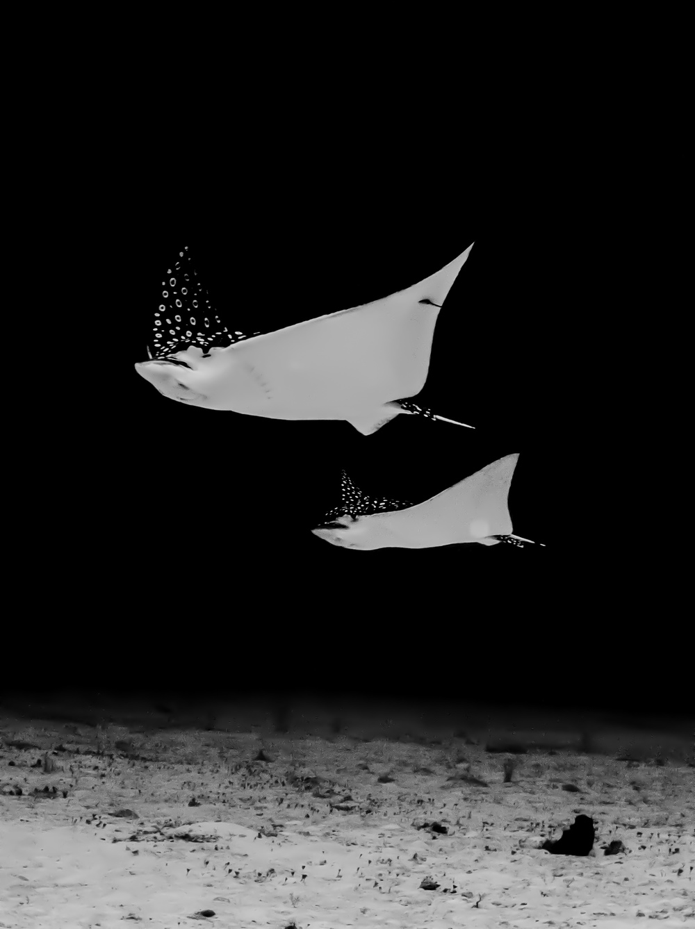 Lisa Collins -Eagle rays, Maldives.jpg