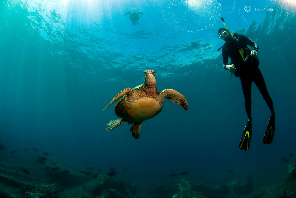 Lisa Collins -Green turtle and diver, Hawaii.jpg