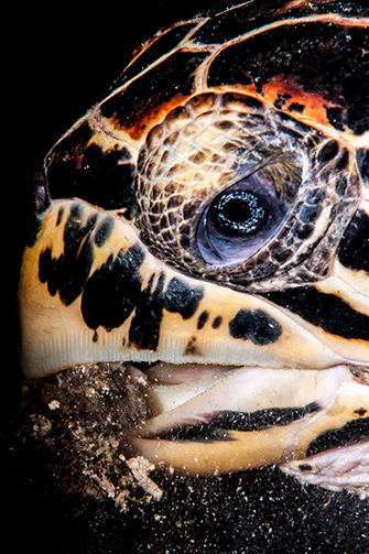 Lisa Collins -HawksbillTurtle eating,  Lembeh, Indonesia.jpg