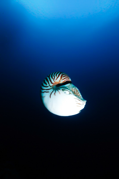Lisa Collins -nautilus in the blue, Palau, Micronesia.jpg