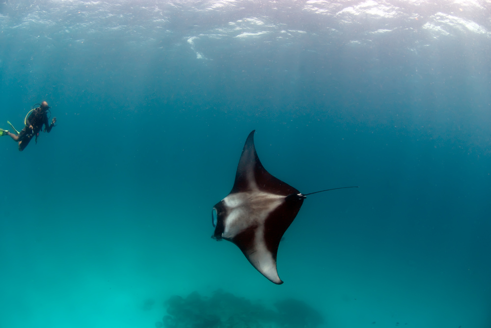 Lisa Collins -Pacific manta ray, Maldives.jpg