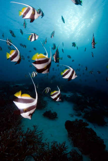 Lisa Collins -Schooling bannerfish, Philippines.jpg