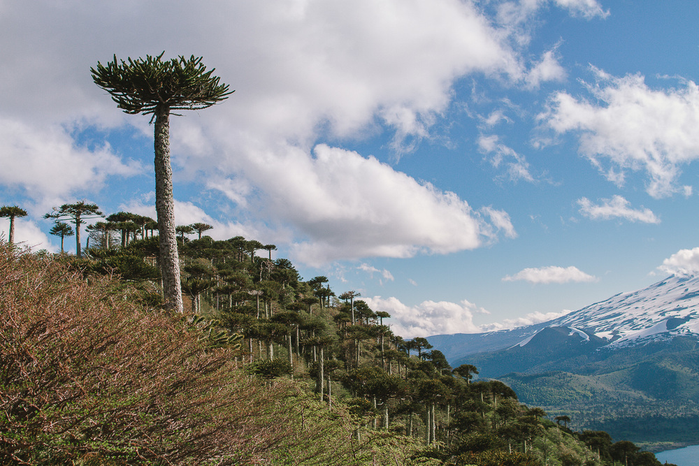 20 A big araucaria stands from the crowd.jpg