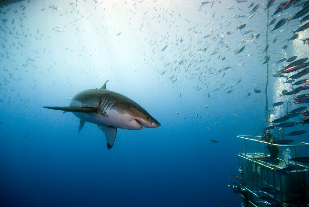 Great white shark approaching a cage full of divers - Isla Guadaloupe.jpg