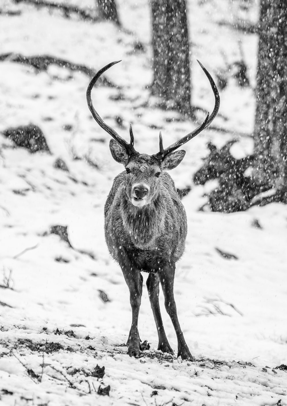chris knight - Aviemore - Scotland2 - red deer stag.jpg