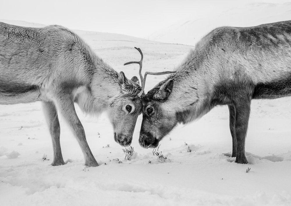 chris knight - Aviemore - Scotland4 - reindeer.jpg