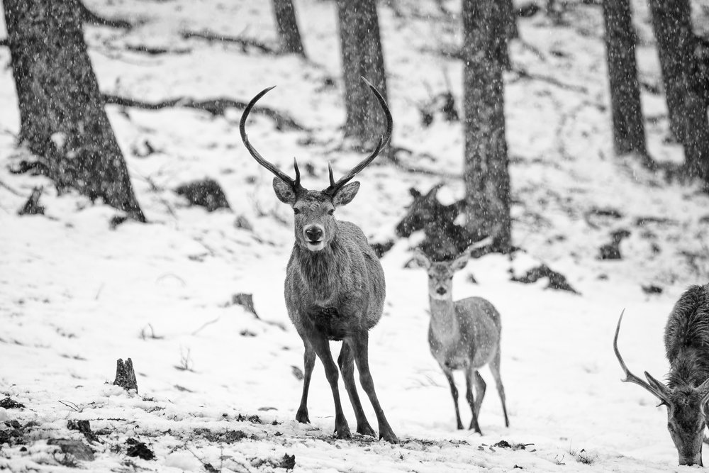 chris knight - Aviemore - Scotland - red deer stag.jpg