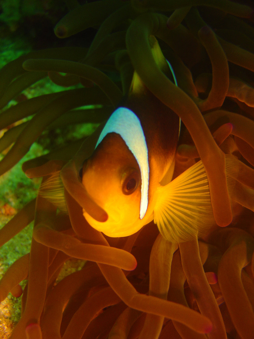 chris knight - barbados - clown fish.JPG