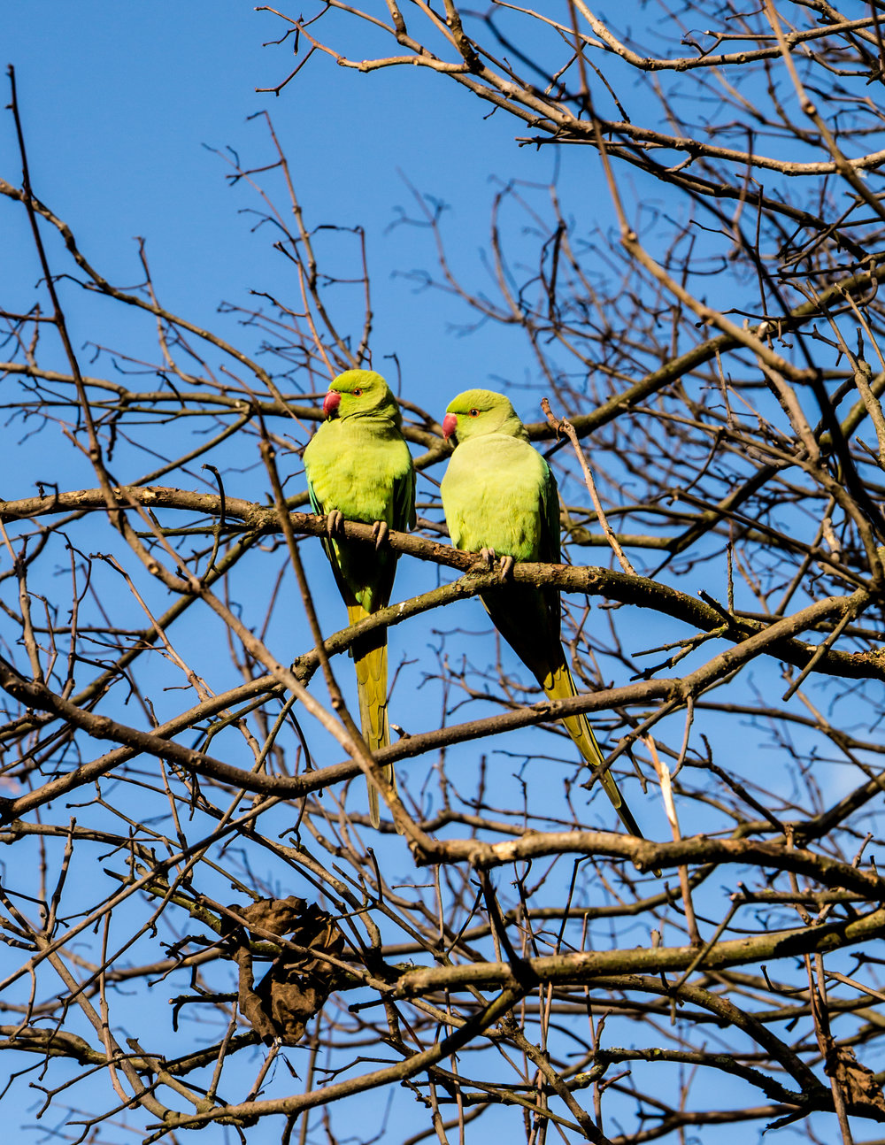 chris knight - hyde park - london3 - parakeet.jpg