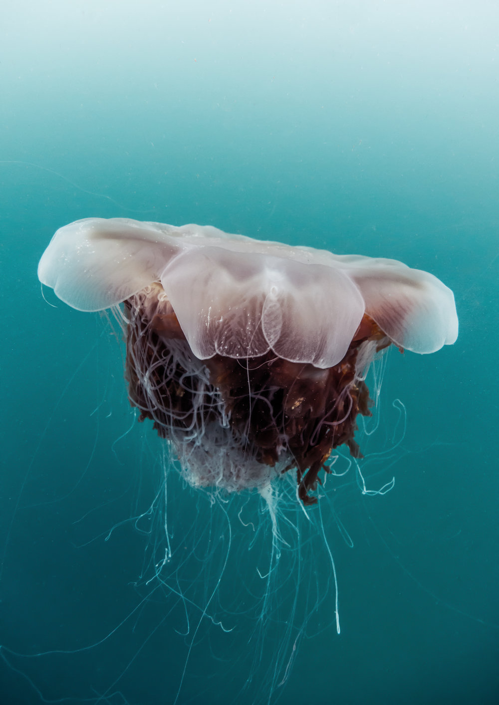 chris knight - isle of coll - scotland2 - lions mane jellyfish.jpg