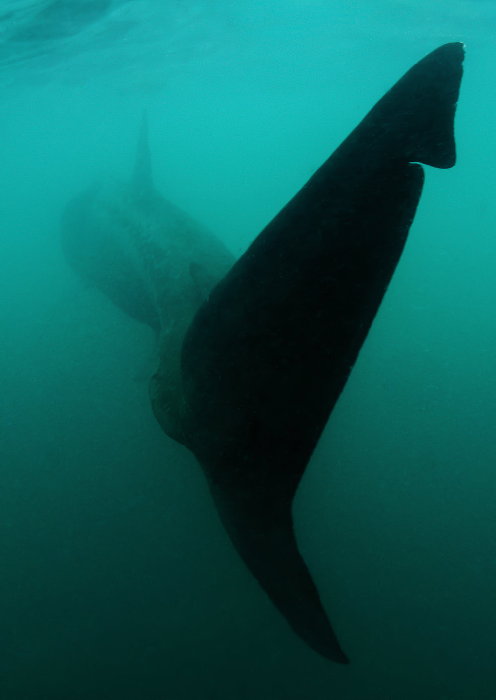 chris knight - isle of coll - scotland - basking shark.jpg