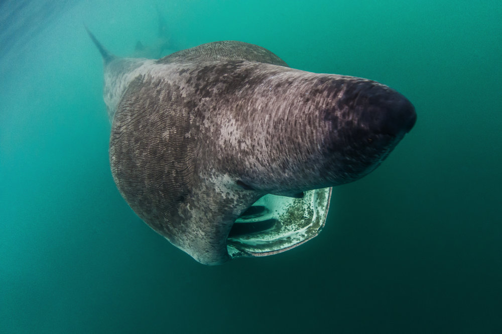chris knight - isle of coll - scotland4 - basking shark.jpg