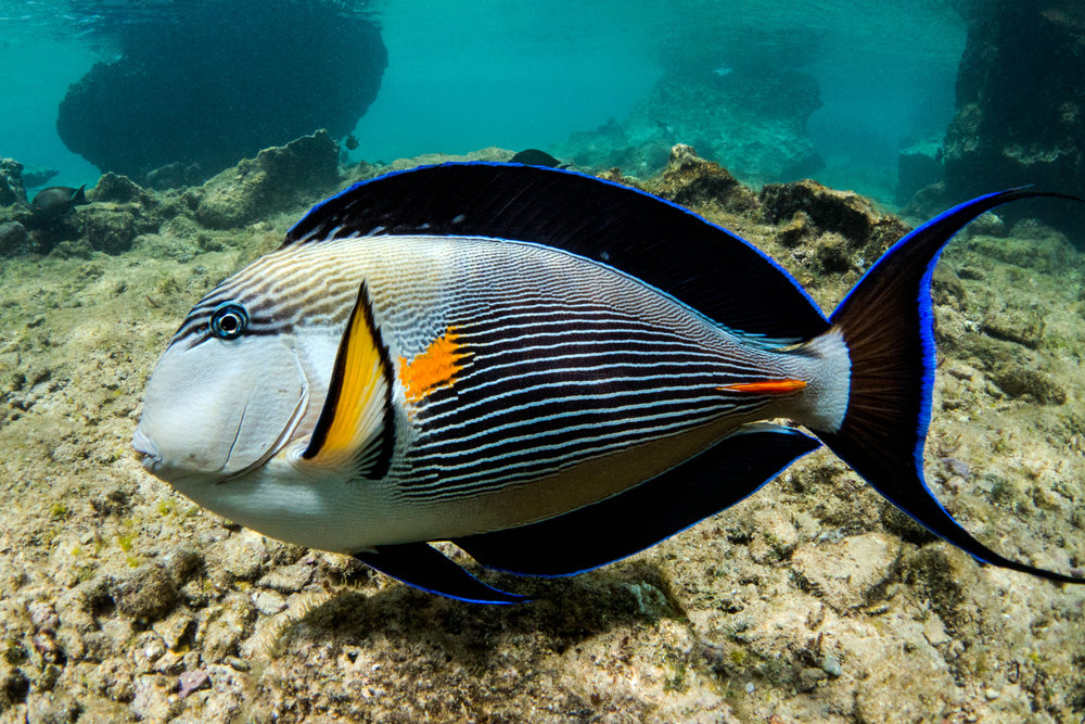 chris knight - sharm el sheikh - egypt - sohal surgeonfish.jpg