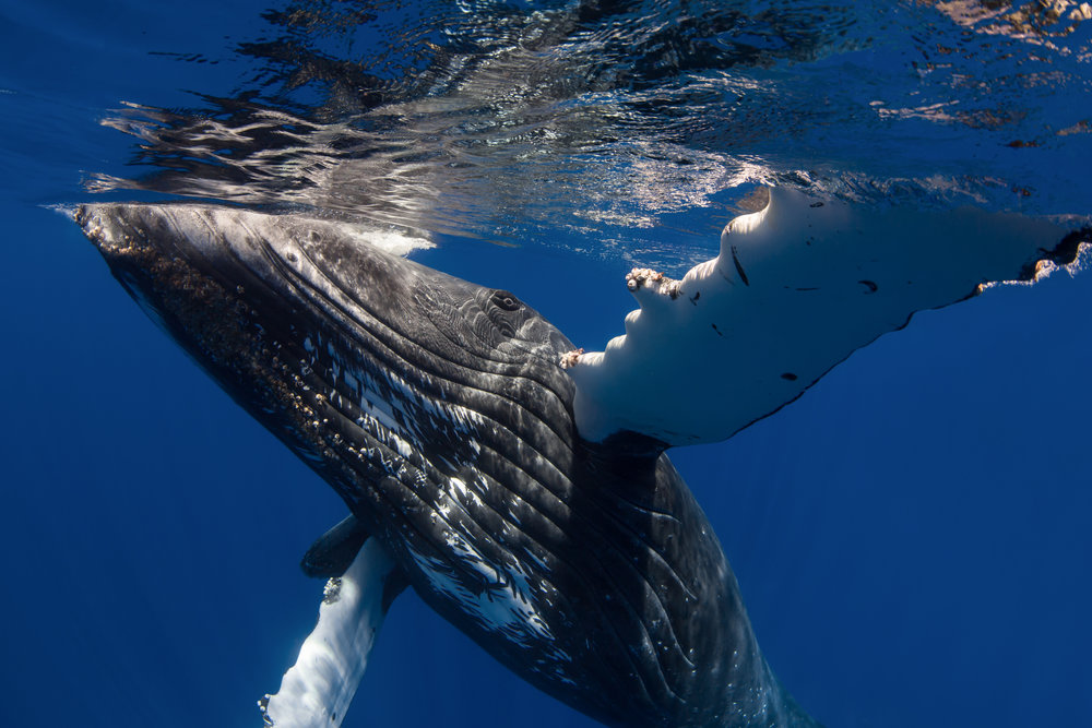 chris knight - tonga3 - humpback whale.jpg