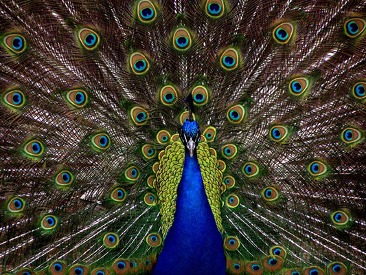 Believe in yourself - be a peacock!