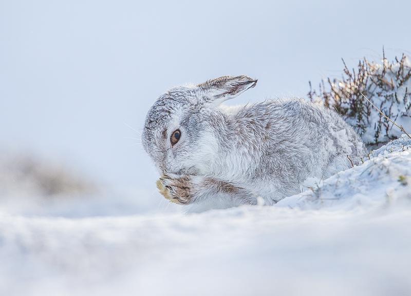 M3 - Mountain Hare Preening