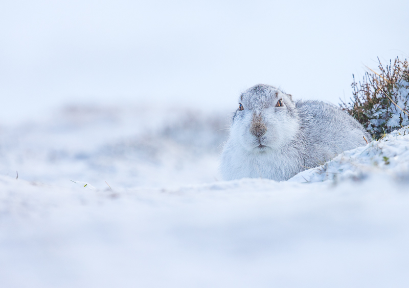 M5 - Mountain Hare In Snow