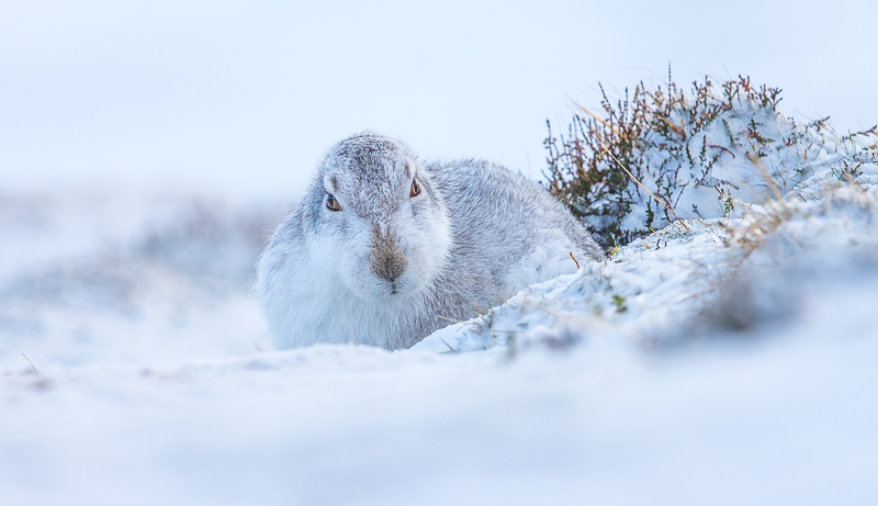 M7 - Mountain Hare In Snow