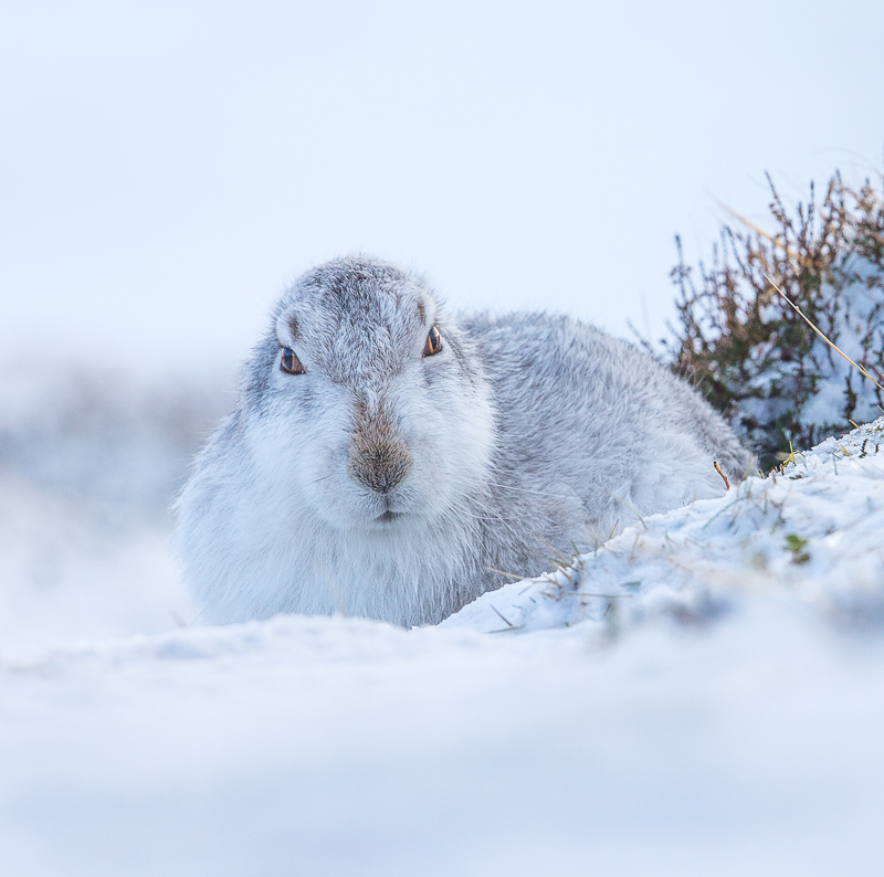 M6 - Close-Up Mountain Hare In Snow