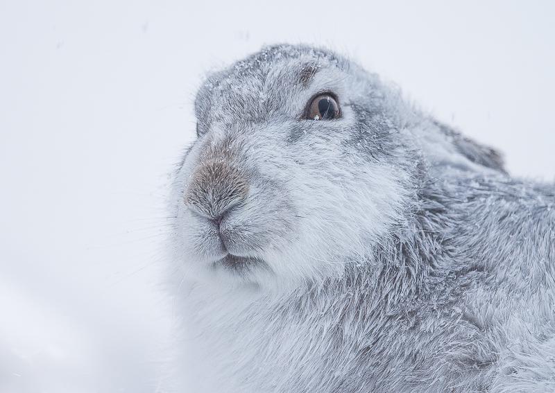 M8 - Close-Up Mountain Hare Portrait