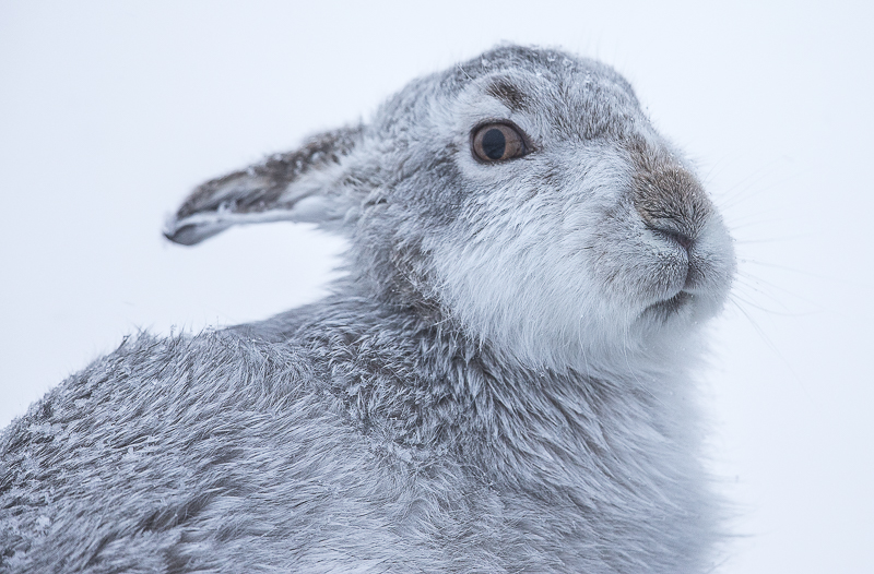 M9 - Close-Up Mountain Hare