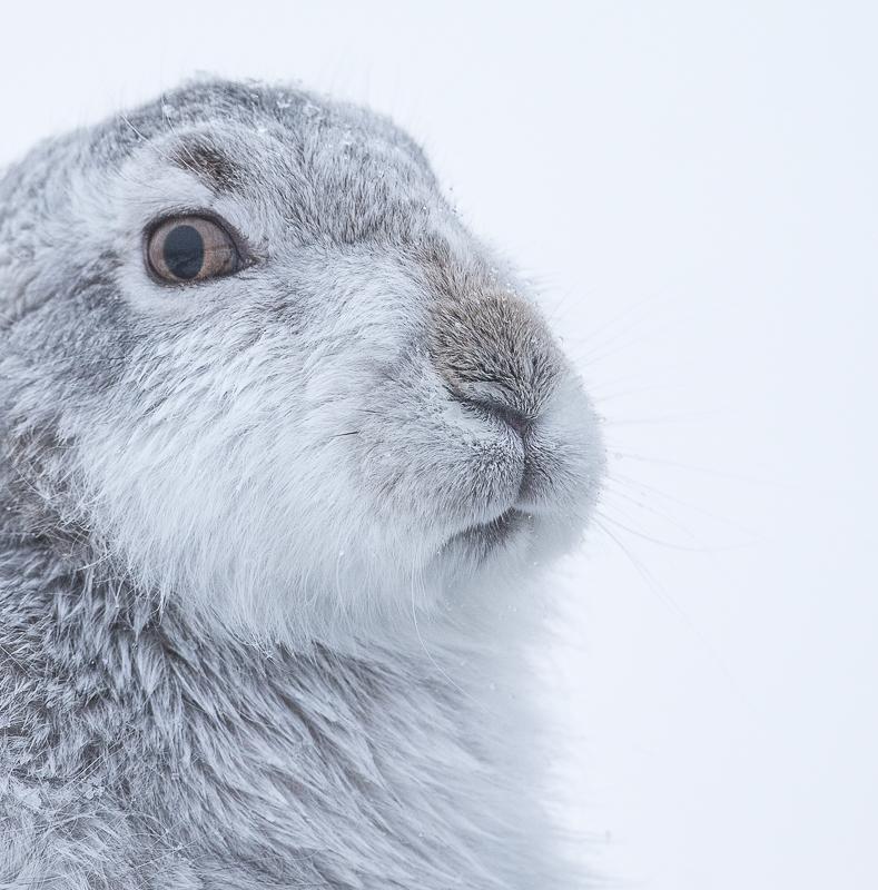 M10 - Close-Up Mountain Hare Portrait