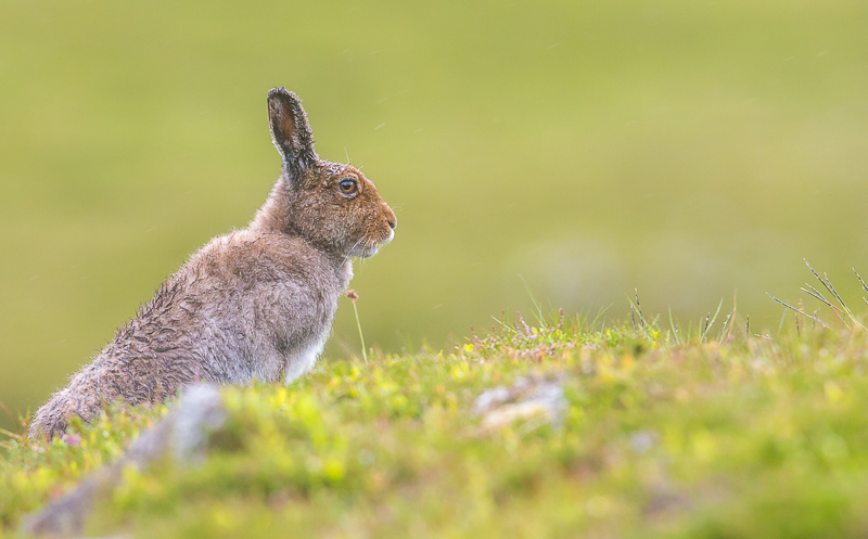 M16 - Summer Mountain Hare