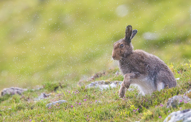 M18 - Mountain Hare Shaking Off Water After A Downpour