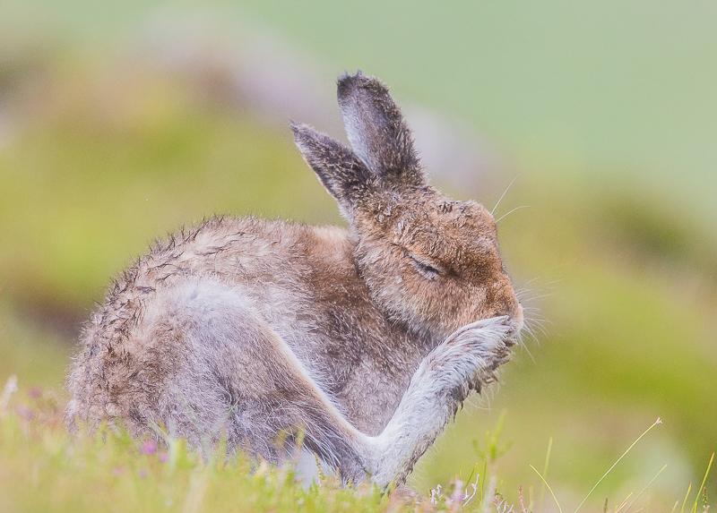 M19 - Summer Mountain Hare Preening