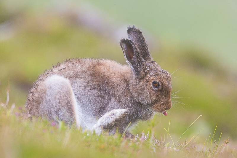 M20 - Cheeky Summer Mountain Hare