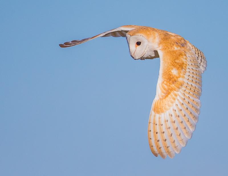 O2 - Barn Owl Flying Against A Blue Sky