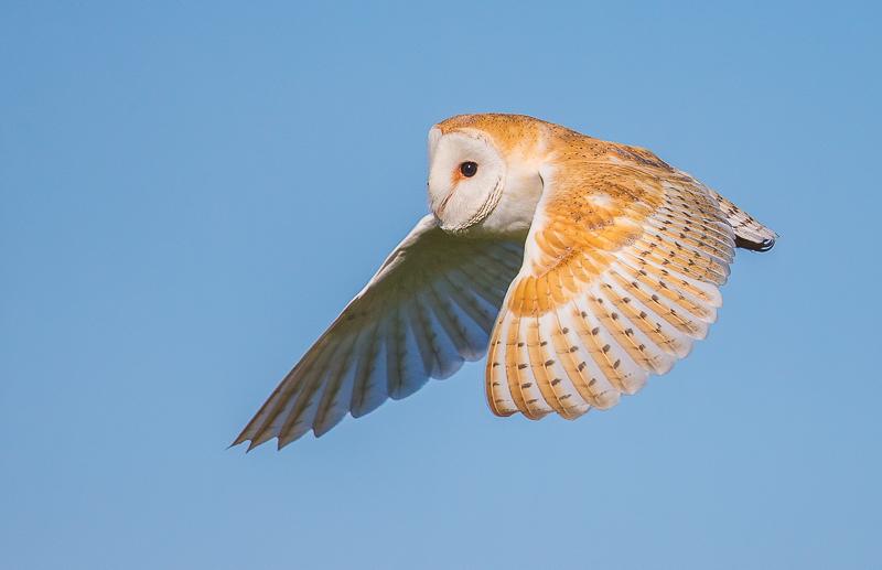 O1 - Barn Owl Flying Against A Blue Sky