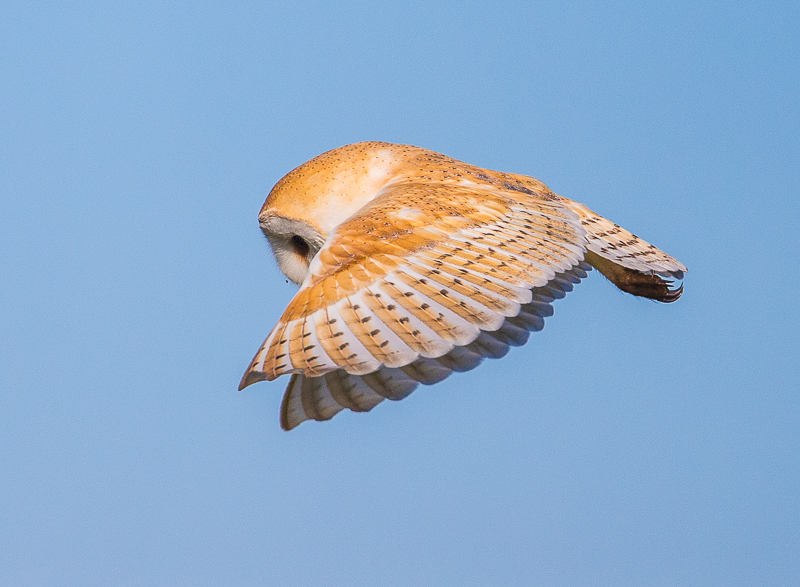 O3 - Barn Owl Flying Against A Blue Sky