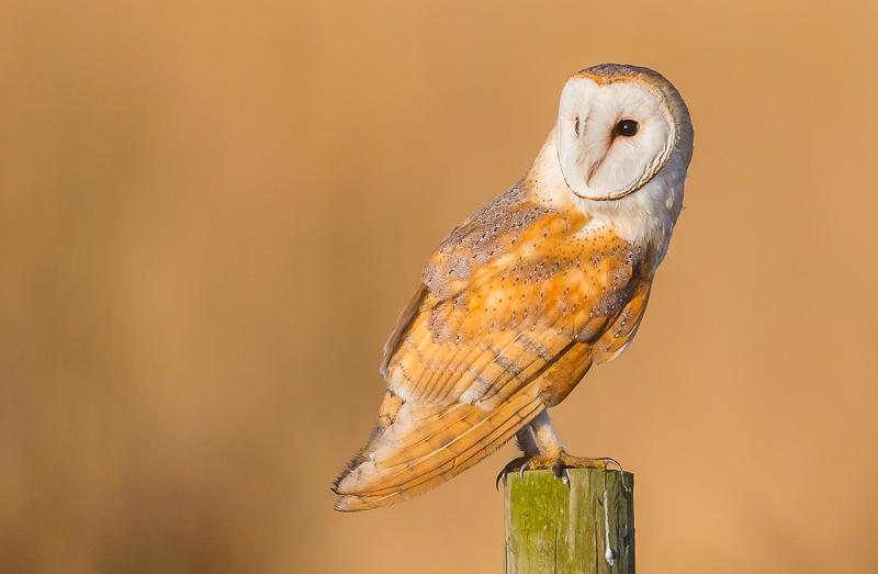 O4 - Wild Barn Owl On A Post In Golden Light