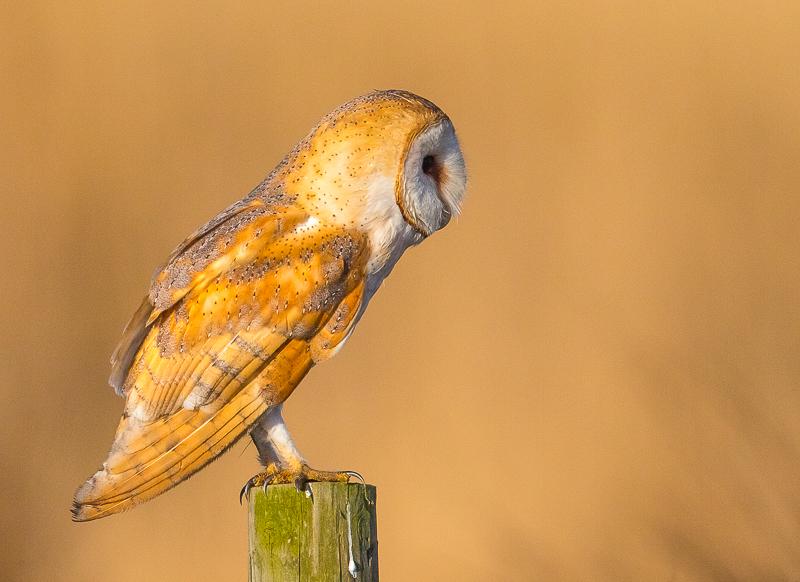 O6 - Wild Barn Owl On A Post In Golden Light