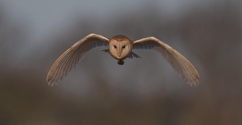 O7 - Barn Owl At Dusk Flying Head-On
