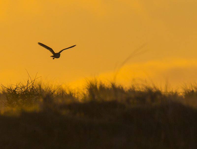 O8 - Morning Silhoutted Barn Owl With Prey