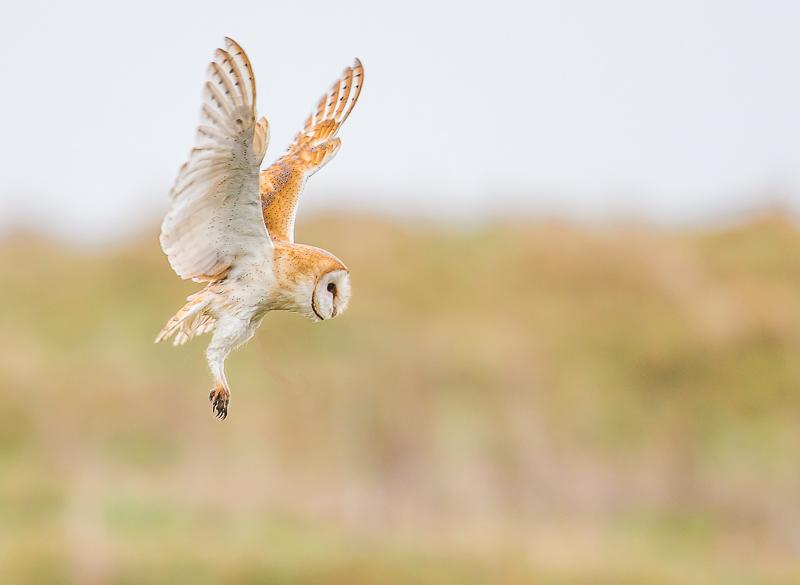 O9 - Hovering Barn Owl Listening For Prey