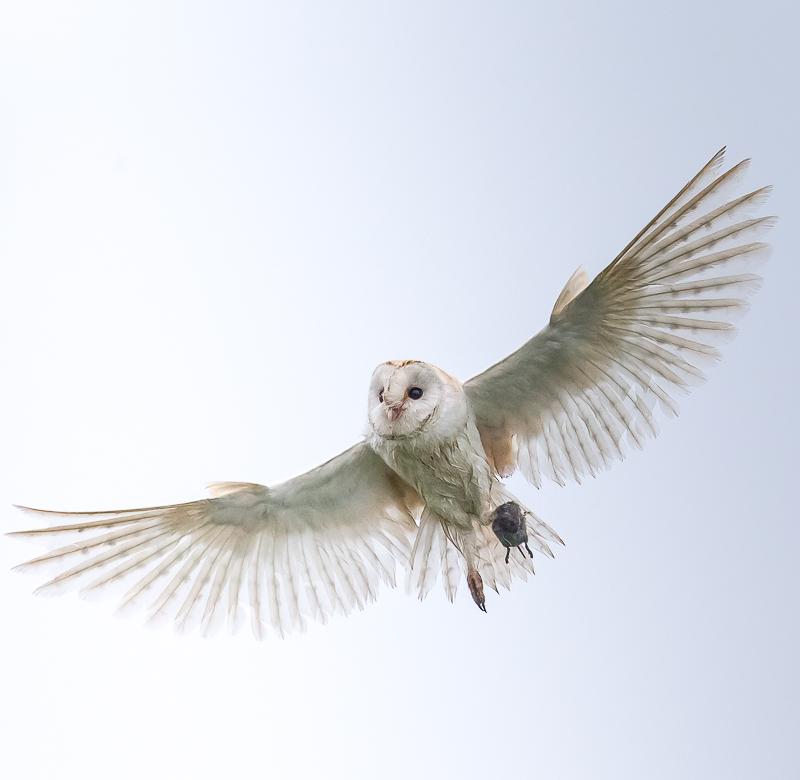 O11 - Barn Owl Flying Overhead With Prey
