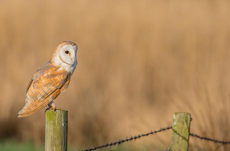 O12 - Barn Owl On A Post In Golden Light