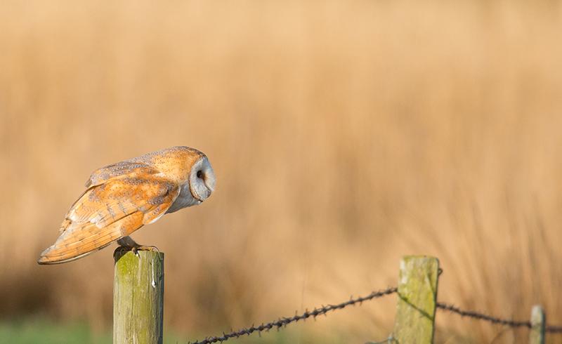 O13 - Barn Owl Ready For Take Off