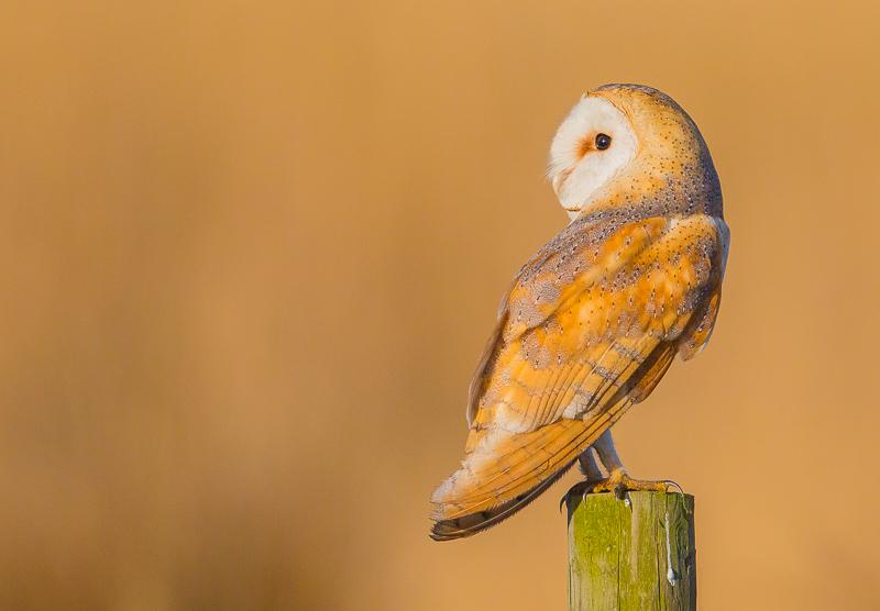 O5 - Wild Barn Owl On A Post In Golden Light