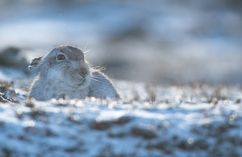 M11 - Mountain Hare In Morning Light
