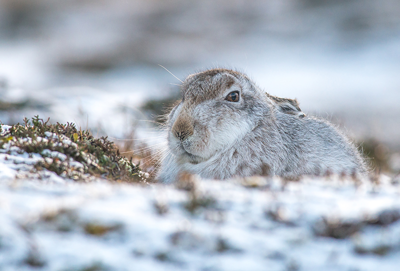 M12 - Close-Up Mountain Hare